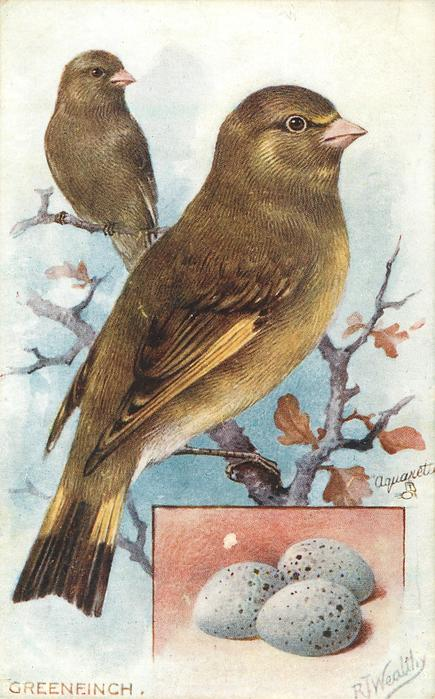 THE GREENFINCH