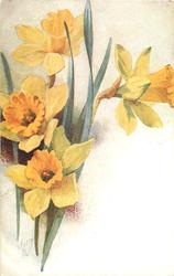 four daffodils in bloom, four green stems