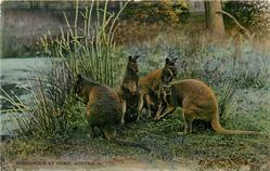KANGAROOS AT HOME