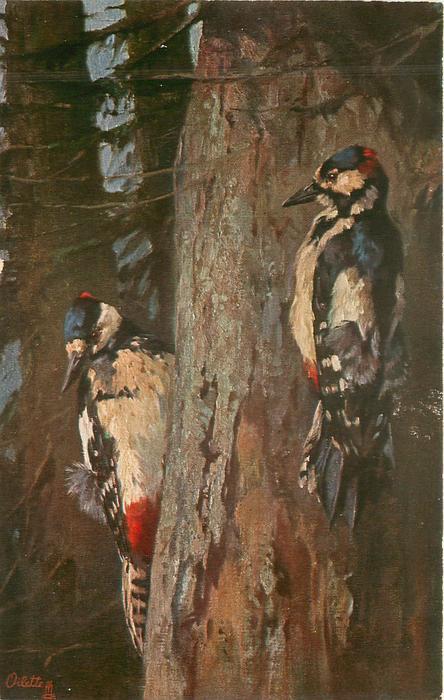 BUNTSPECHT  woodpeckers