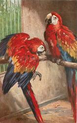 GELBFLUGEL ARAS  macaws