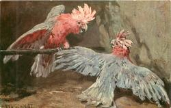 ROSENKAKADU  cockatoos