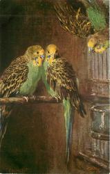 WELLENSITTICH love-birds