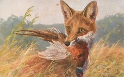 IM JUNI  fox with pheasant in mouth