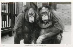 ORANG UTANS, Tuck error for Orangutans