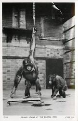 ORANG UTANS Tuck error for Orangutans