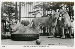 LION AND LIONESSES