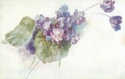 small bunch of violets in center on white  background, two large leaves, two violets out of bunch upper right