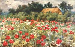 field of red poppies, haystack behind hedge at rear