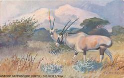 ASENDE GEMSBOCKE(ORYX). SUD-WEST AFRICA