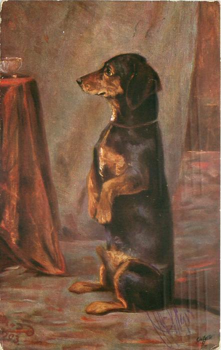 dachshund begs facing left