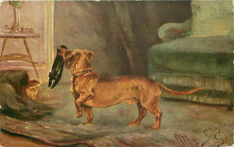dachshund carries slipper left