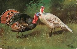 male turkey faces & looks right, white female turkey faced left looking front