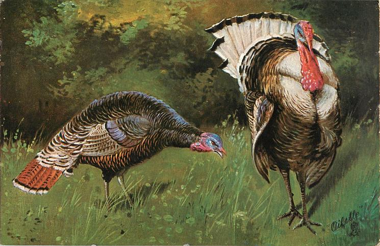 male and  female  turkeys, male looks forward, female to ground and right