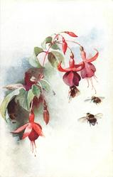 three  red  flowers( fuchsias), three bees below them, one lands on second flower from right