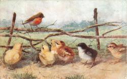 robin on fence, six chicks on ground