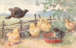 black bird flies toward 6 chickens with worm in mouth, one black fuzzy bird in water while 5yellow chicken's wait with open mouths