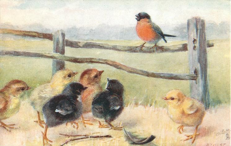 bullfinch on fence, six chicks watch,, two are black, two yellow, two light brown