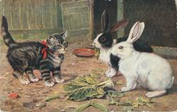 kitten watching two rabbits eat their cabbage near their pens