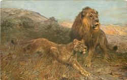 lion & lioness on veldt looking intently right
