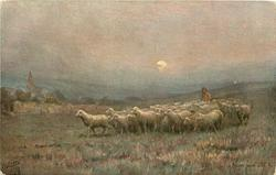 HOME BY MOONLIGHT  shepherd follows sheep forward down gentle slope in moonlight