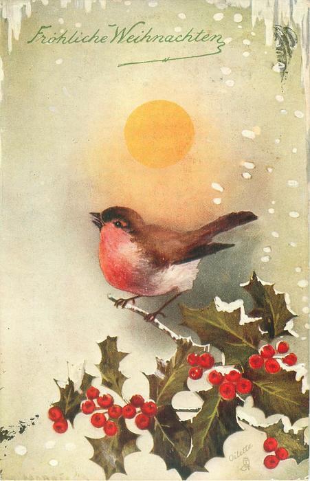 robin perching on holly singing under bright sun