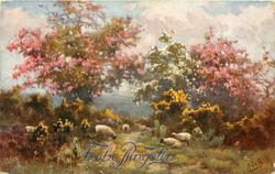 trees with pink blossom either side of one with white blossom, sheep in front