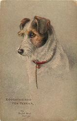 ROUGH HAIRED FOX TERRIER
