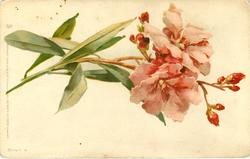 pink azaleas, thin leaves, stalks left, buds right