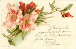 pink & red azaleas