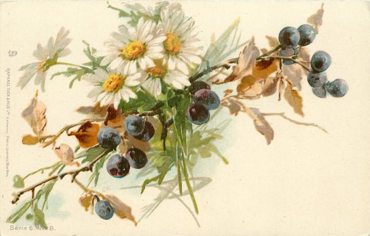 daisies & black currants