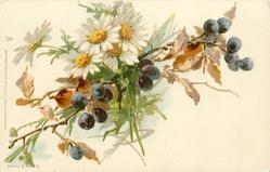 daisies & black currants