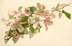 fruit blossom