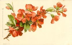 red japonica