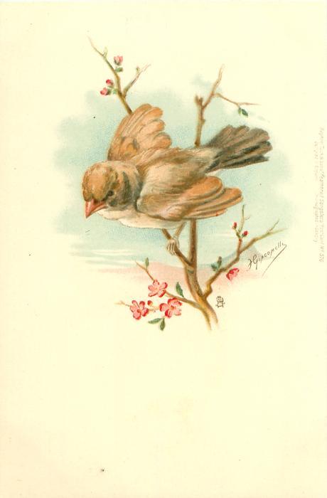 sparrow faces & looks front/left