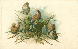 male goldfinch on edge of nest, female & 5 chicks on twigs around