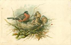 male bullfinch on edge of nest, 2 chicks in nest 3 on rim of nest
