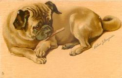 pug lies mouthing thin bone in its paws, looking right