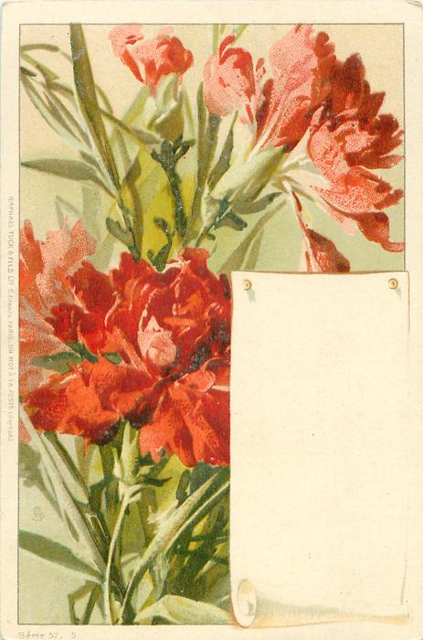 red/pink carnations