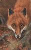 close up of fox,  looking forward over tree roots