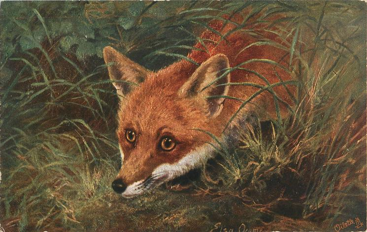 fox  looking  left/front, lower left, from grass