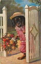 dressed dachshund carrying bouquet comes through gate