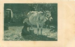 THE WHITE COW