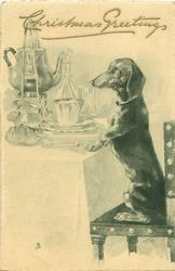 dachshund sits up on chair with front paws on elaborately laid table