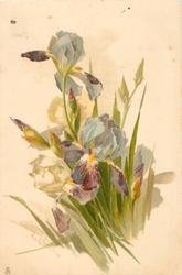 clump of multicoloured iris