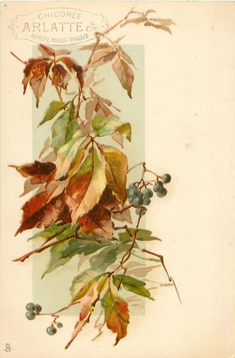elderberries in autumn