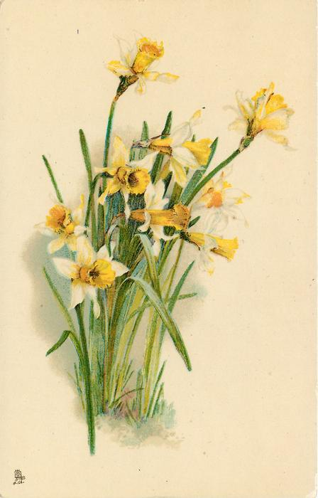 nine daffodils in ground facing right