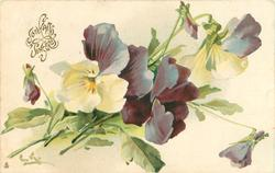 violet & white pansies, three flowers, three buds, stalks to lower left