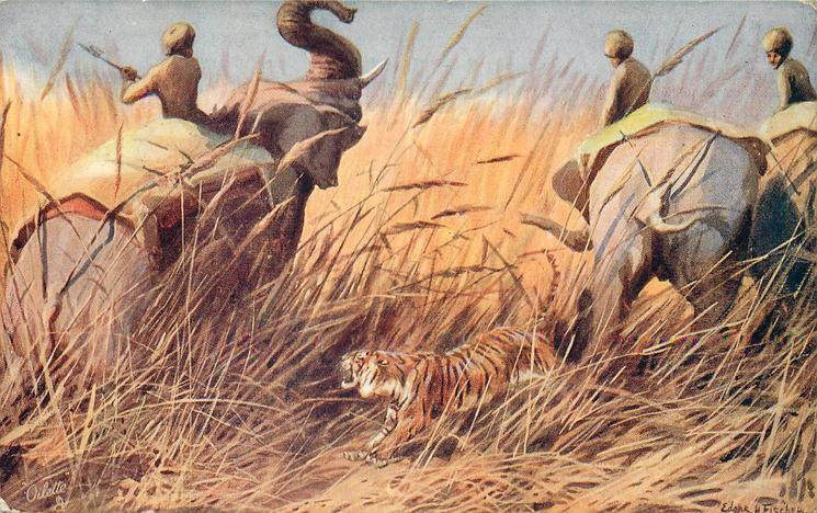 tiger between elephants in reeds, left elephant raises trunk, three mahouts