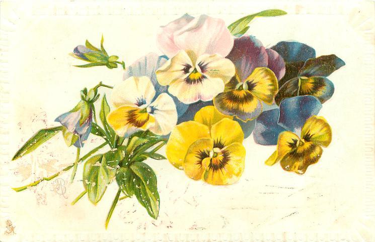 many coloured pansies, stalks left